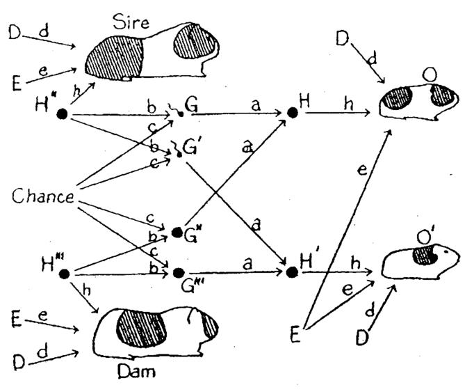 Wright pathg invention of the path diagram to show relations among a network of endogenous and exogenous variables forming a system of structural equations ccuart Images